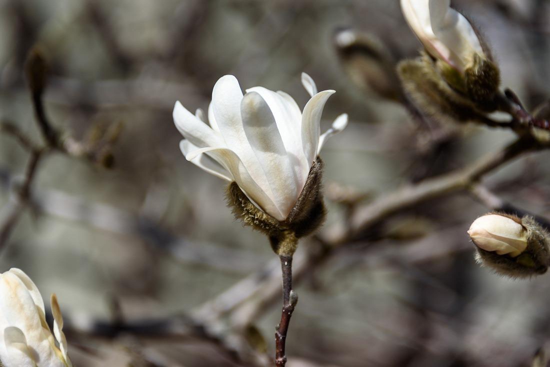 Young Magnolia