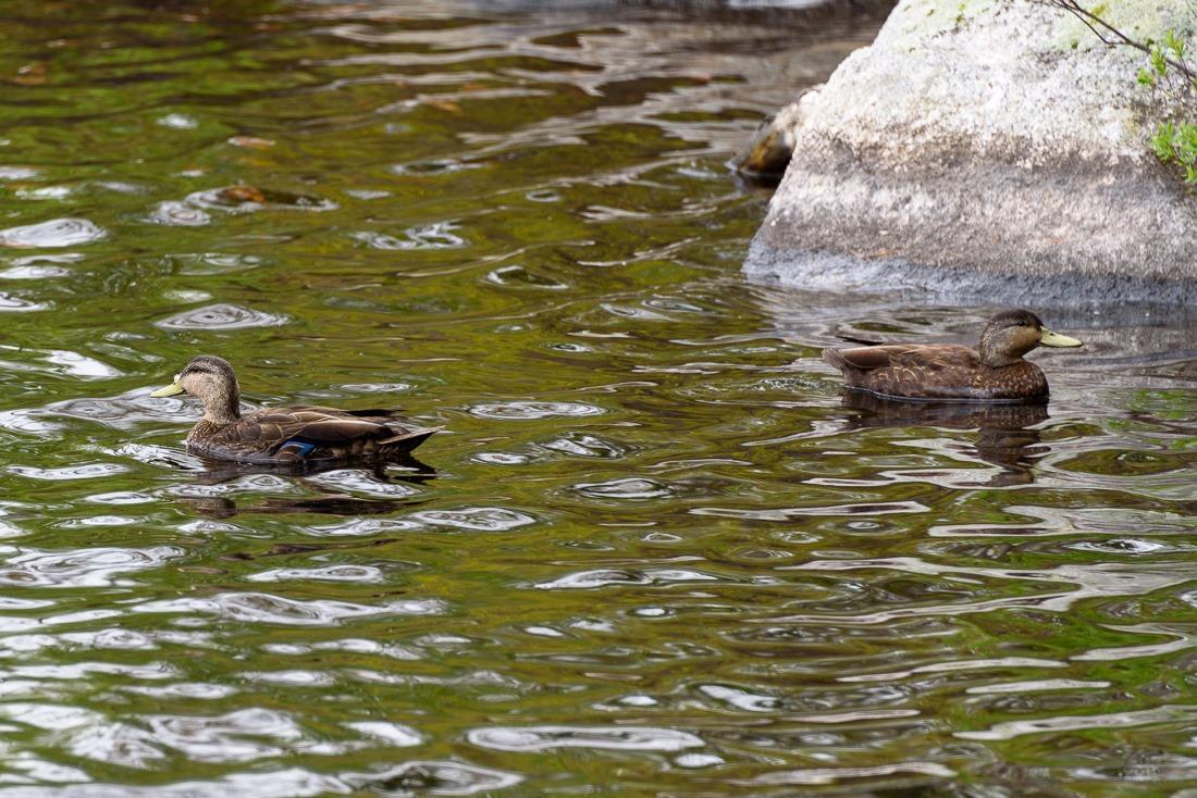 City Ducks