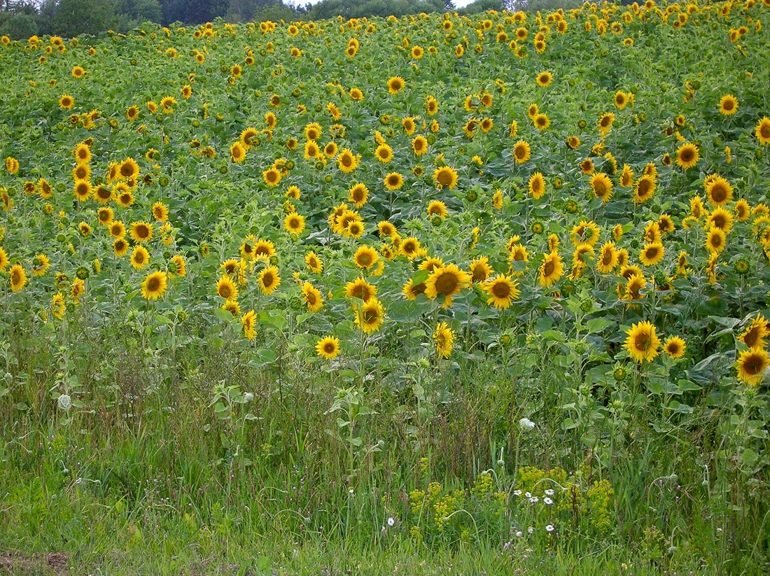 Sunflower crop in Ukraine