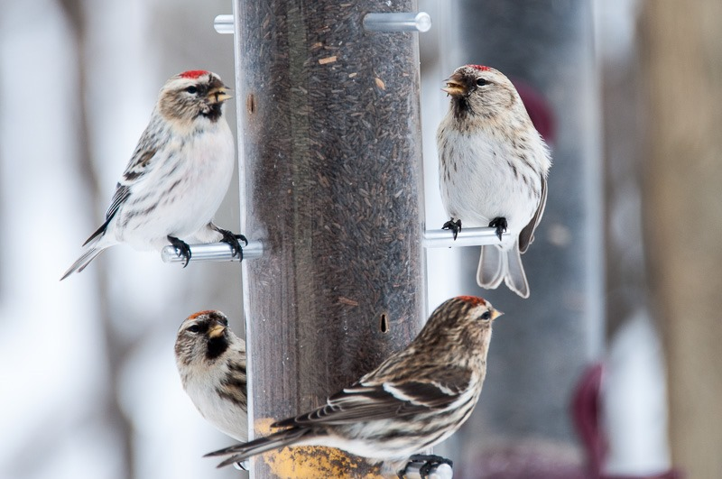 Common Redpolls on a feeder