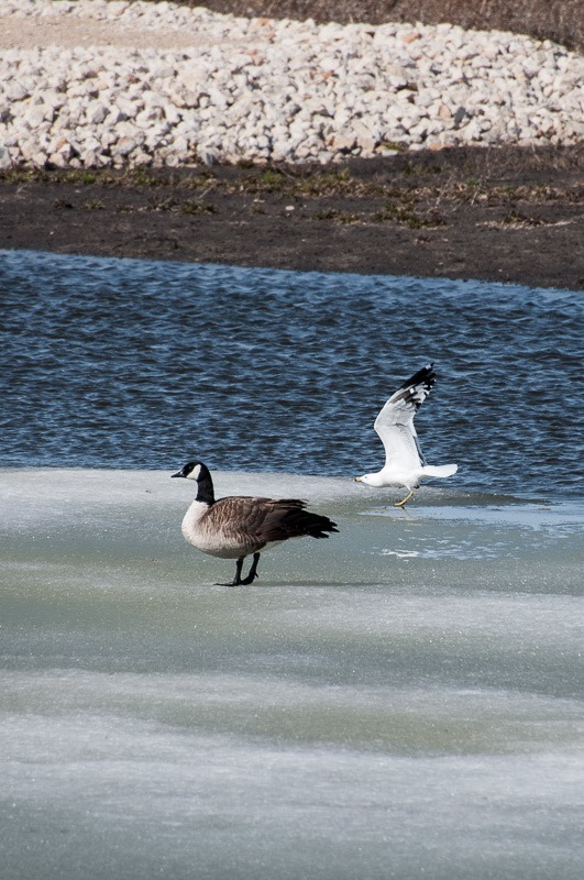 Gull and Goose