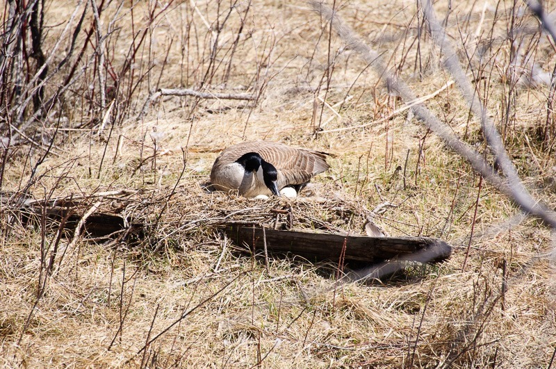 Canada Goose with eggs