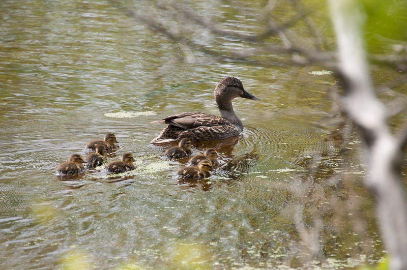 Mallard duck (hen) with youngsters