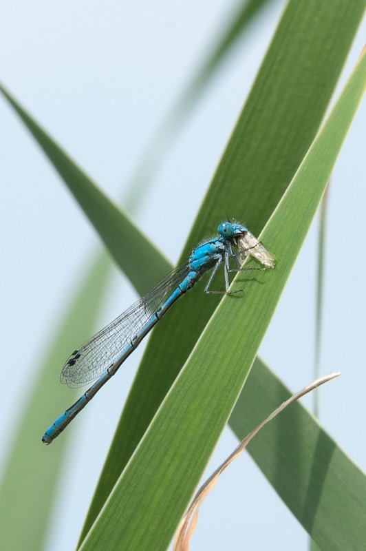 Damselfly with lunch