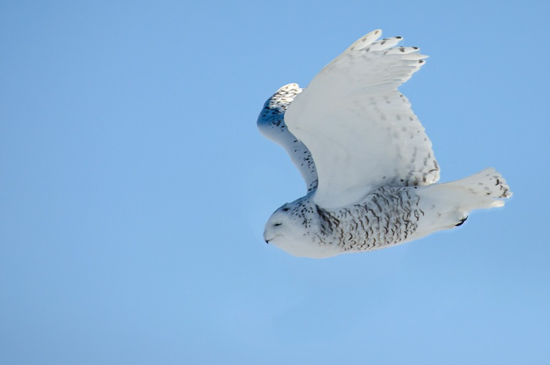 Taking off, female Snowy Owl