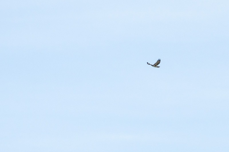 Coming in, Red-tailed Hawk