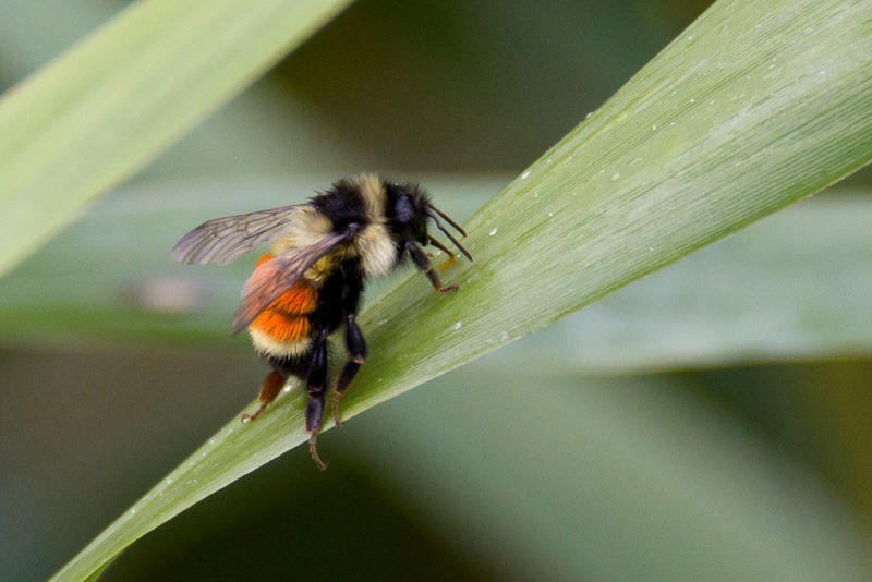Bombus Ternarus, or tri-coloured bumblebee