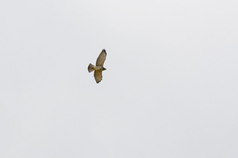 Broad-winged hawk, juvenile
