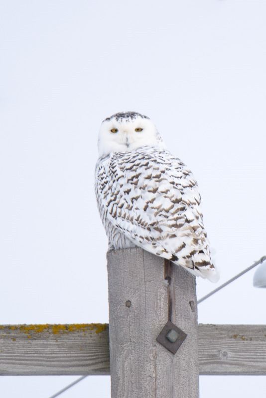 Female Snowy Owl, quietly sitting on his Hydro Pole