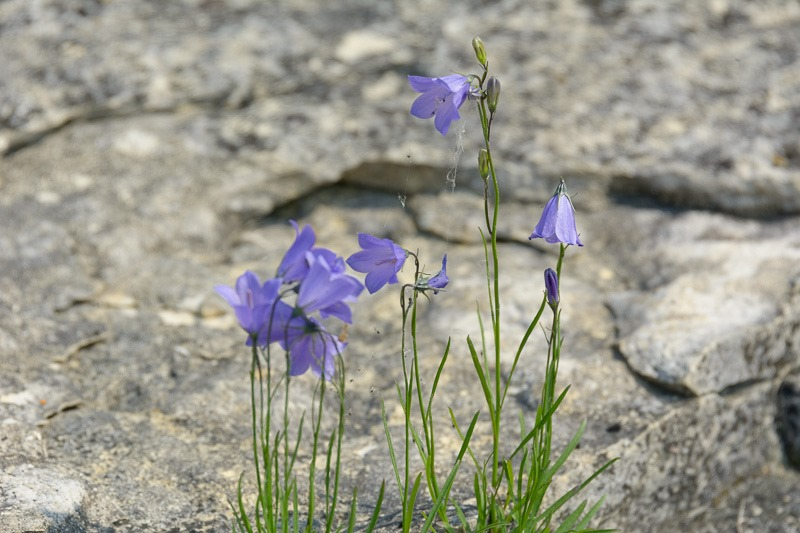 Harebell, indigenous to the island