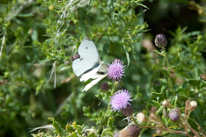 Cabbage White, male and female