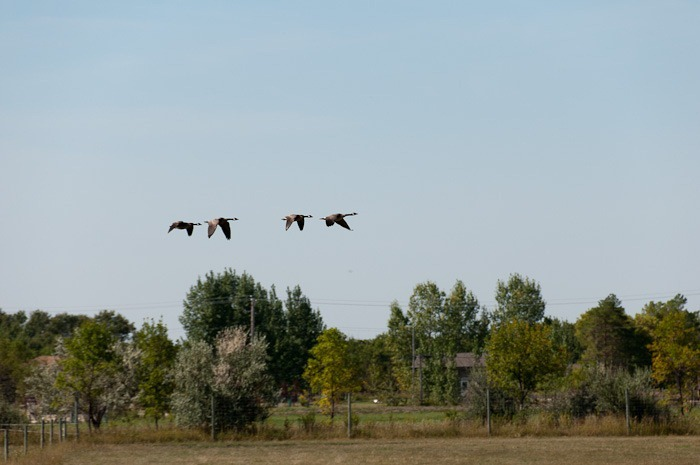 Small group of geese