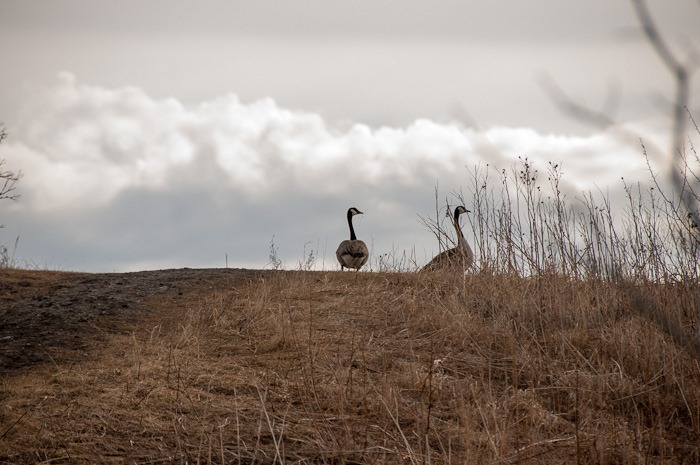 Female and Male Canadian Goose