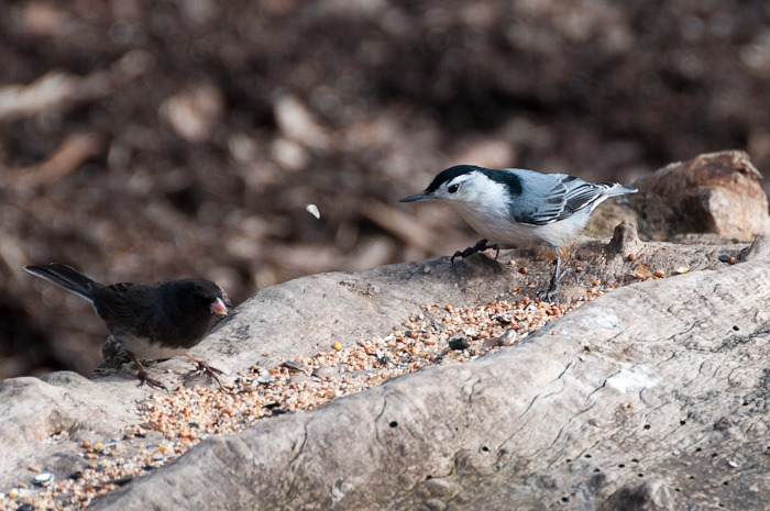 Junco and White Breasted Nuthatch