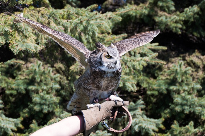 Tao, the Great Horned Owl
