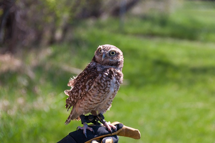 Naira, the Burrowing Owl
