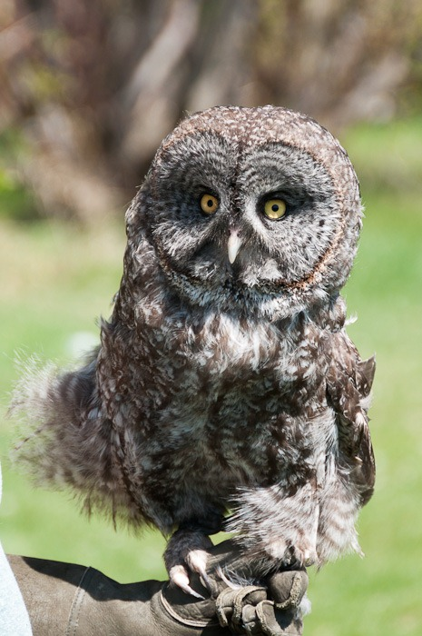 Nascha, the Great Grey Owl