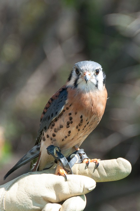 Kele, the American Kestrel