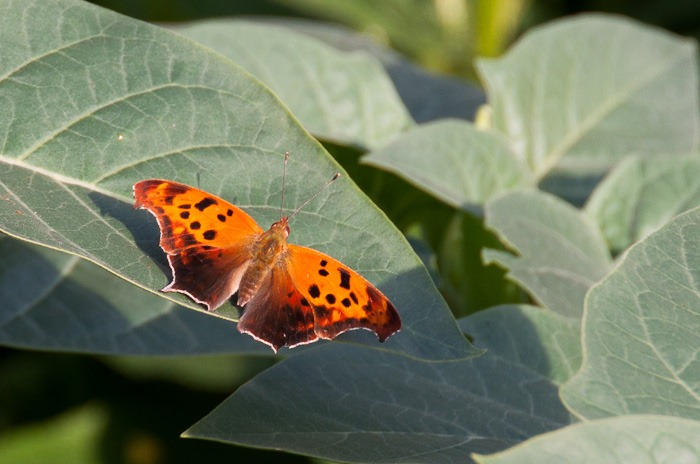 Eastern Comma in the evening sun