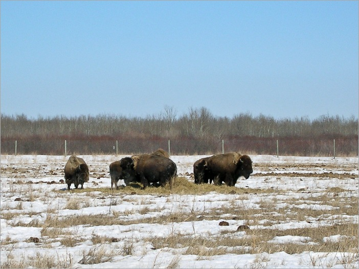 "Bison in the ""wild"" near Winnipeg"