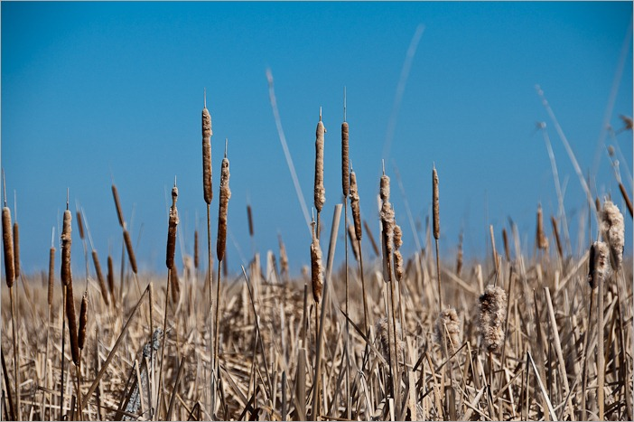 Reeds, cattails and high grass