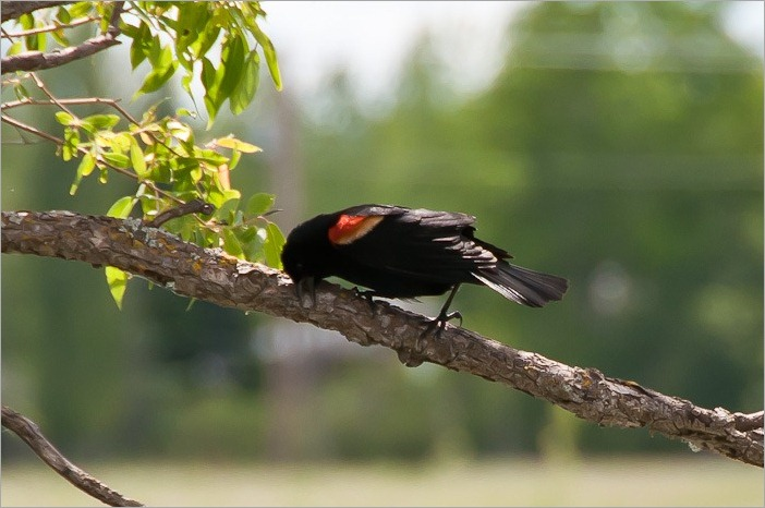 Blackbird (orange winged)