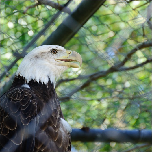 White headed eagle
