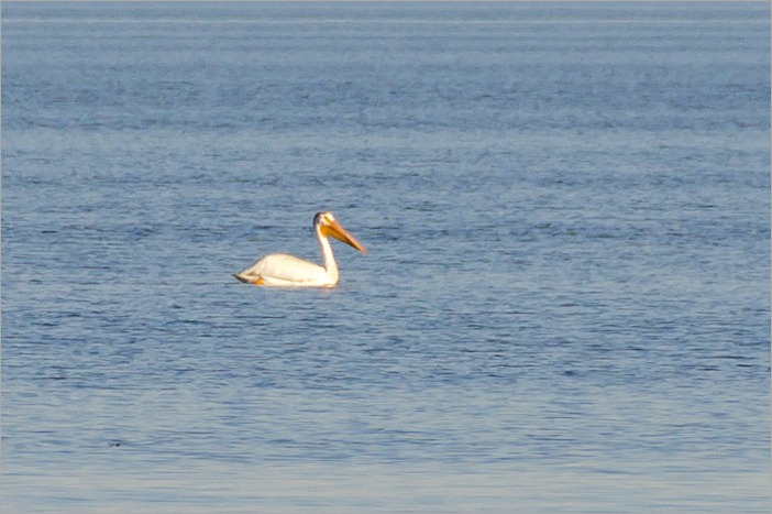 Pelican on Lake Winnipeg