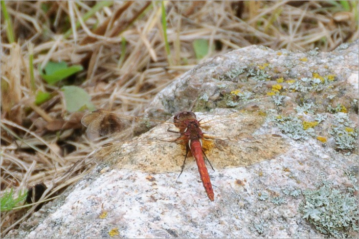 Red coloured variety of dragonflies, this one measures about 7cm, wingspan around 10cm