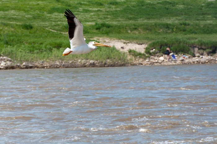 North American White Pelican
